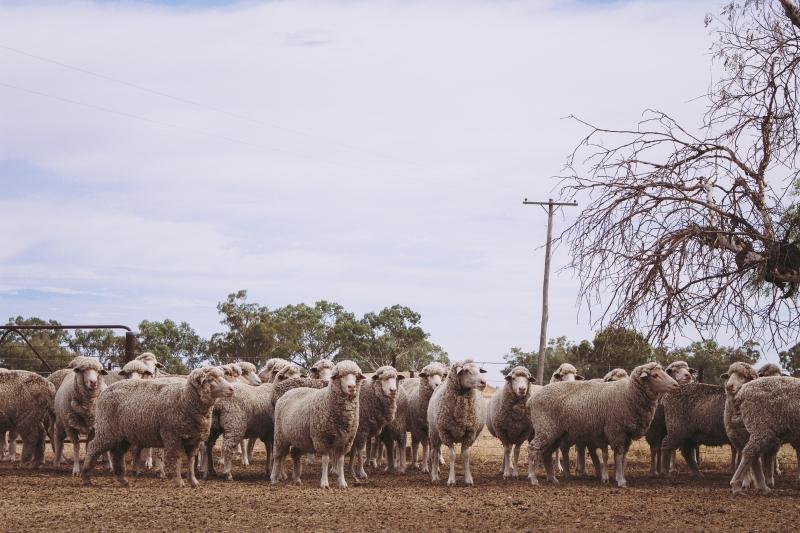 rosewood sheep print (1 of 1)